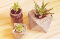Succulent plants vintage filter Royalty Free Stock Image