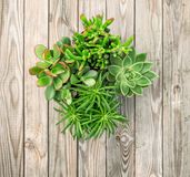 Succulent plants wooden background floral flat lay. Succulent plants on rustic wooden background. Minimal floral flat lay stock photo