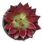 Succulent in a pot Stock Image