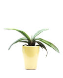 Succulent in Pot Stock Photos