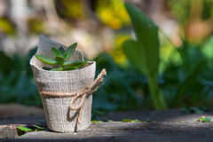 Succulent in a Pot. Royalty Free Stock Photography