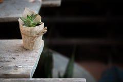 Succulent in a Pot. Stock Photos