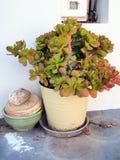 Succulent Potplant Stock Photo