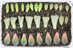 Succulent propagation Stock Images