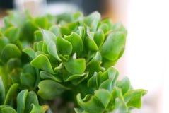 Succulent que se encrespa Foto de archivo libre de regalías