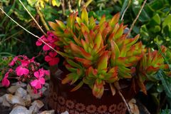 Succulent rojo y verde plantado en un pote Fotografía de archivo libre de regalías