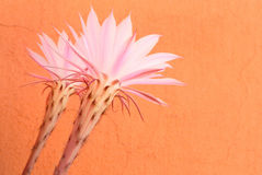 Succulent's flowers. Succulent's pink flowers on orange background Royalty Free Stock Photos