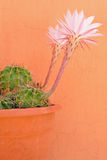 Succulent's flowers. Succulent's pink flowers on orange background Stock Image