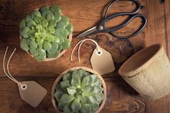 The Succulent`s transplant. Succulent`s care. Home garden. Leisure time. Some succulent on a table, a coffee muf, two tags, a twine coil and a scissiors Royalty Free Stock Image