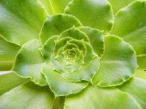 Succulent sacred geometry green. Art Stock Image