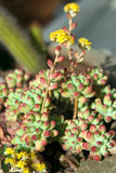 Succulent  Sedum rubrotinctum Stock Photo