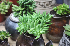Succulent,Sedum sediforme,crassulaceae Royalty Free Stock Photo