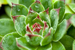 Succulent Sempervivum Стоковые Фотографии RF
