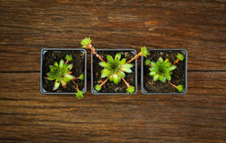 Succulent Sempervivum calcareum in black plastic plant pots Stock Images