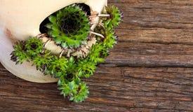 Succulent Sempervivum calcareum in ceramic plant pot with side o Stock Photo