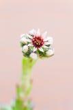 Succulent Sempervivum Flower Close up Royalty Free Stock Photos