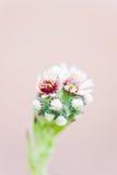 Succulent Sempervivum Flower Close up Stock Photo