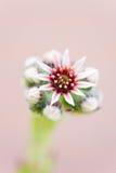 Succulent Sempervivum Flower Close up Stock Photography