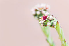 Succulent Sempervivum Flower Close up Stock Image