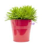 succulent senecio bush Стоковая Фотография