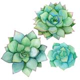 Succulent set isolated on a white background. Watercolor hand drawn illustration. Perfect for card, wedding invitation. Succulent set isolated on a white royalty free illustration