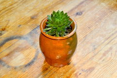 Succulent in a small pot. Capture of a small pot with a succulent plant on an old wooden table royalty free stock image