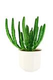 Succulent stapelia in a white Stock Photos