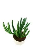 Succulent stapelia in a white pot the top view Royalty Free Stock Images