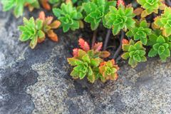 Succulent stone rose o Stock Images
