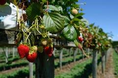 Succulent strawberries Stock Image