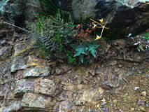 Succulent. S growing on the underside of rocks royalty free stock photography