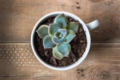 Succulent in teacup. Top view of succulent plant in a cup on wooden table background royalty free stock images
