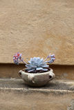 Succulent in a terracotta jar Royalty Free Stock Photography