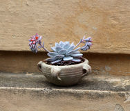 Succulent in a terracotta jar Royalty Free Stock Image