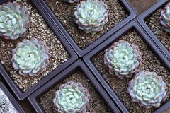 Succulent from the top view angle for houseplant and indoor garden