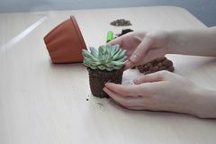 Succulent transplant at home. royalty free stock photography
