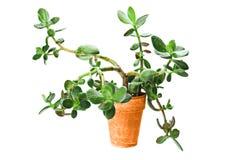 Succulent Tree Stock Image