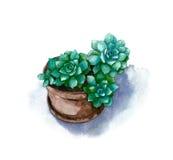 Succulent vert d'aquarelle dans le pot sur le fond blanc Image libre de droits