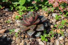 Succulent vert-foncé avec les taches rouges et un bord sur les feuilles Photo stock