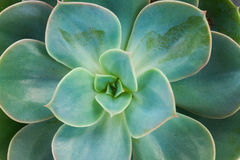 Succulent on white. One fresh succulent green plant macro close up background stock images