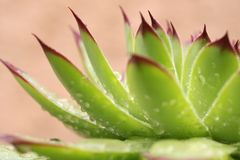 Succulent withrain drops stock photo
