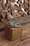 Succulent in wooden box Royalty Free Stock Images