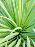 Succulent Yucca plant close-up, thorn and detail on leaves of Narrowleaf Yucca stock photography