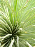 Succulent Yucca plant close-up, thorn and detail on leaves of Narrowleaf Yucca stock image