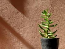 Succulent, zonlicht en schaduw Stock Foto's