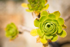 succulente immagine stock