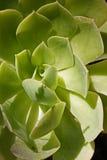 succulente Fotografie Stock