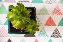 succulente Fotografie Stock Libere da Diritti