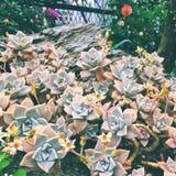 succulente fotografia stock libera da diritti