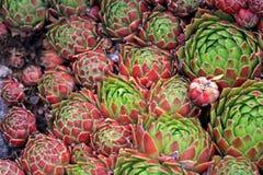 Succulente achtergrond van Jovibarba-globifera of Kippen en Kuikens Royalty-vrije Stock Fotografie